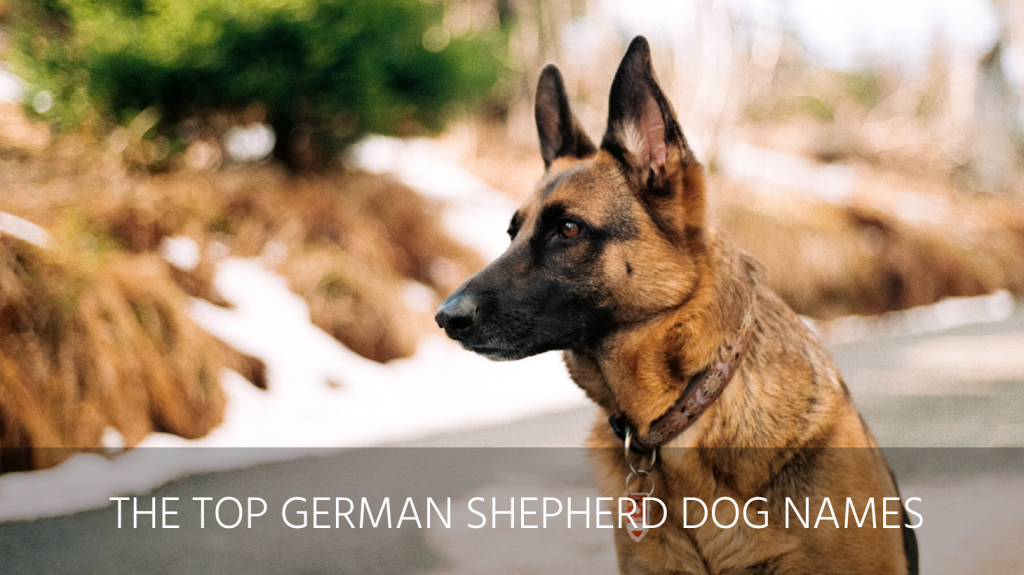 The top german shepherd dog names
