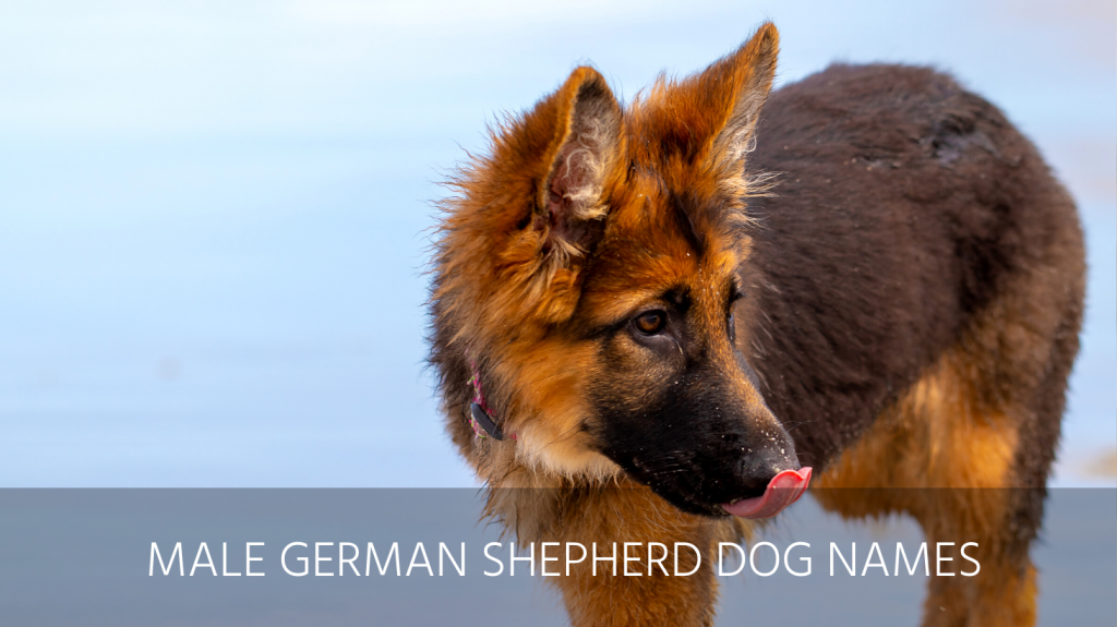 male german shepherd dog names