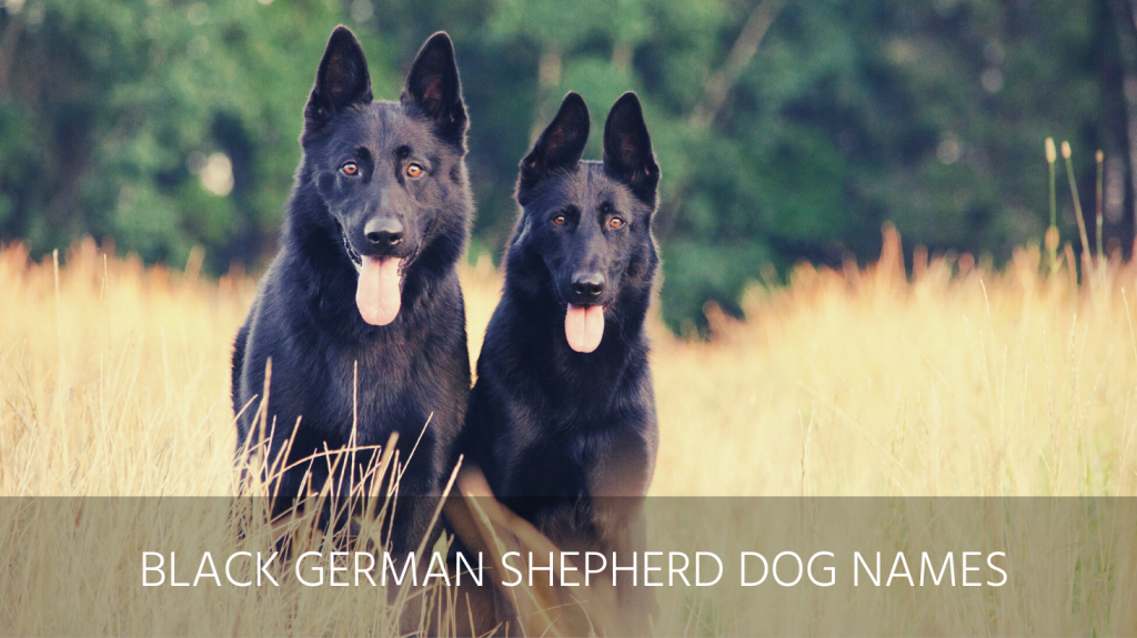 black german shepherd dog names