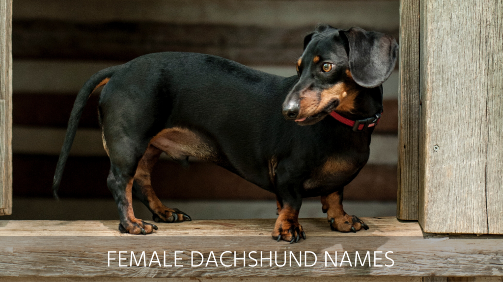 Ultimate List Of The Top 800 Dachshund Dog Names Cute And Popular Puppy Name Ideas
