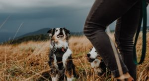 australian-shepherd-dog-names