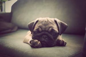 best pug dog names