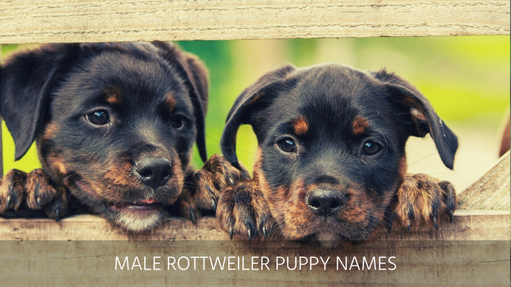 Ultimate List Of The Top 800 Rottweiler Dog Names German Male Female Cool And Best Puppy Name Ideas