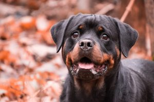 best rottweiler dog names