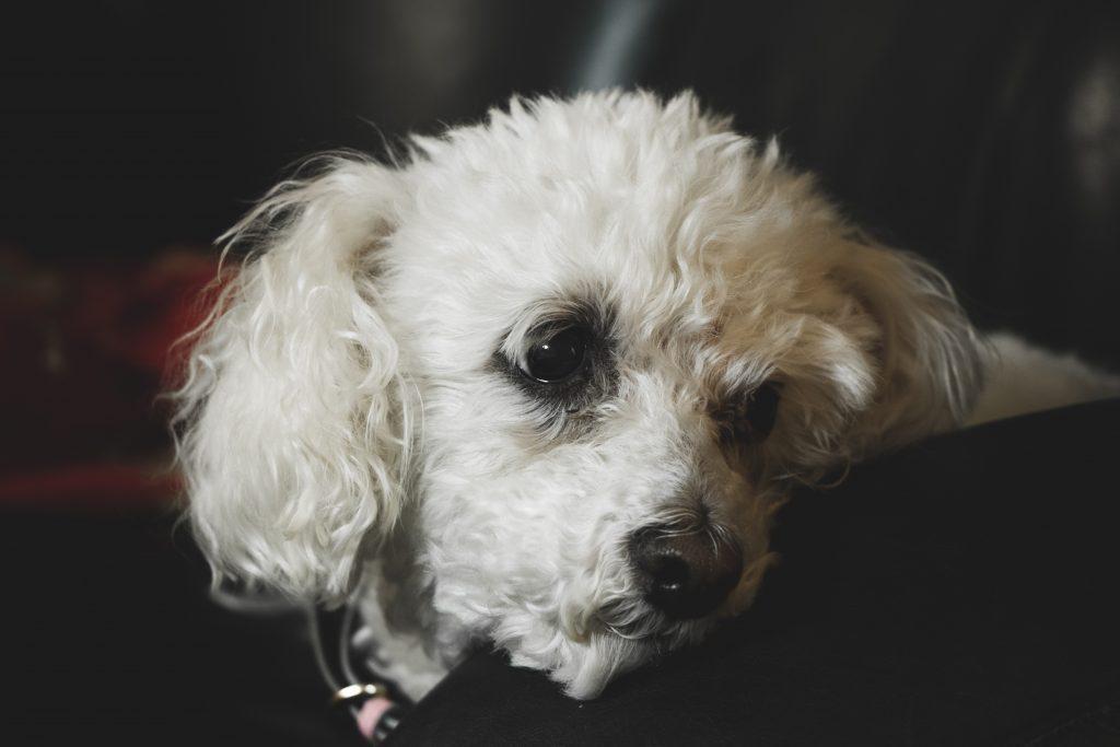 poodle dog names