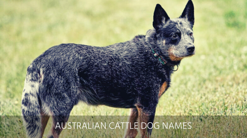 Ultimate List Of The Top 225 Australian Dog Names Aboriginal Cattle And Shepherd Puppy Name Ideas