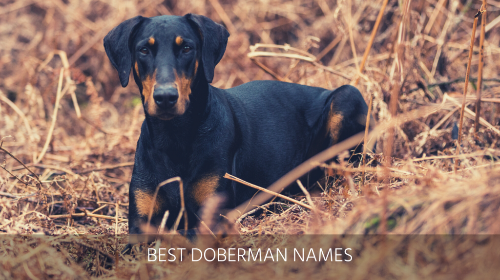 Ultimate List Of The Top 325 Doberman Dog Names Popular Badass And German Puppy Name Ideas