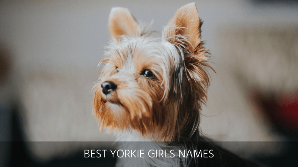 Ultimate List Of The Top 900 Yorkie Dog Names Teacup Famous And Yorkiepoo Puppy Name Ideas