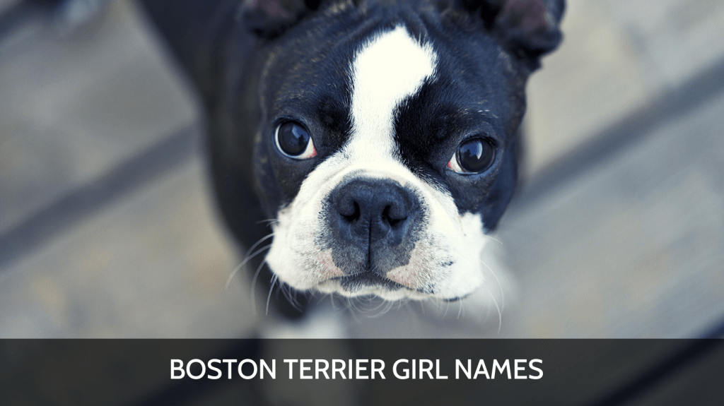 Ultimate List Of The Top 700 Boston Terrier Dog Names Funny Unique And Cute Puppy Name Ideas