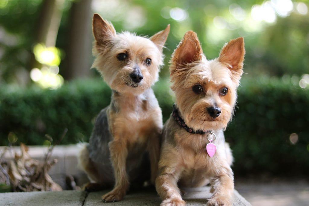 best yorkie dog names