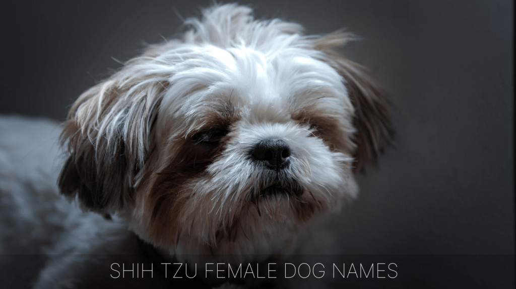 Ultimate List Of The Top 900 Shih Tzu Dog Names Cute Chinese Dog Name Ideas