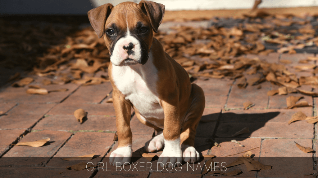 Ultimate List Of The Top 700 Boxer Dog Names Best White Famous Puppy Name Ideas